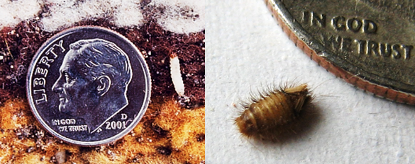 Moth and Carpet beetle larva